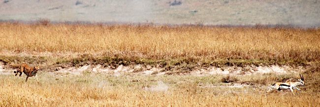 650px-Cheetah_chasing_Thompsons_gazelle_crop